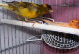 cara ternak burung kenari bagi pemula Mengawinkan Kenari