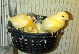 cara ternak burung kenari bagi pemula Menjaga Kesehatan dan Merawat Anak Kenari